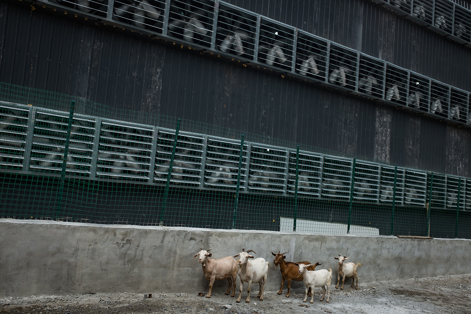 Goats from a nearby village walk among cooling fans at the mine, September 28, 2016.