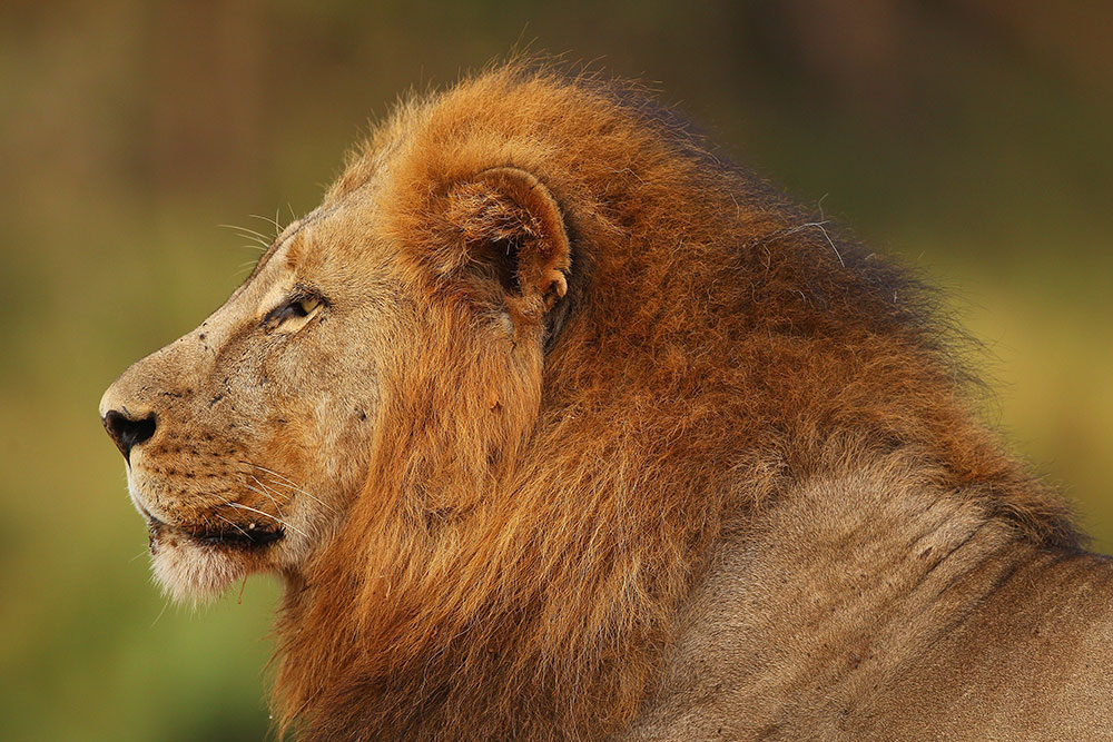 Growing Demand in China for Africa's Lion Bones