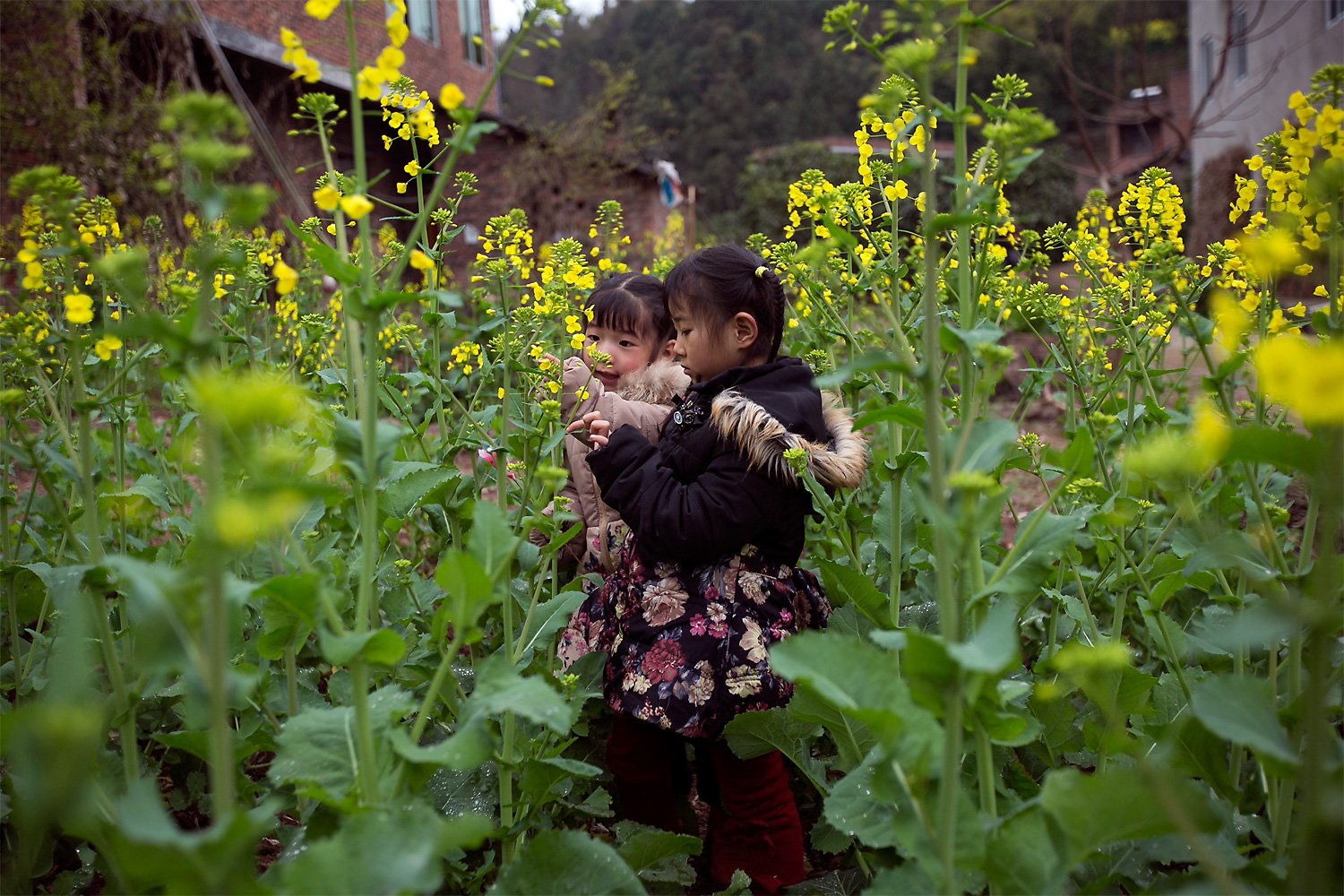 Siyao and Mengmeng play in a rapeseed field, in Longjing village, March 5, 2015.